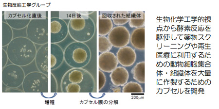 生物反応工学グループ:生物化学工学的視点から酵素反応を駆使して薬物スクリーニングや再生医療に利用するための動物細胞集合体・組織体を大量に作製するためのカプセルを開発